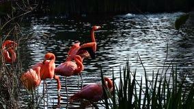 Flamingo's Gladstrijken die zich in Water met Groen Riet bevinden stock footage
