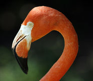 Flamingo's graceful profile Stock Photos
