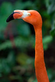 Flamingo's head Royalty Free Stock Images