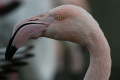 Flamingo's Head. Portrait of a flamingo showing head and part of neck. The flamingo is pale pink and has a downward curved beak and a small, yellow eye Royalty Free Stock Image