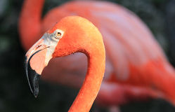 Flamingo's head in profile Royalty Free Stock Photo