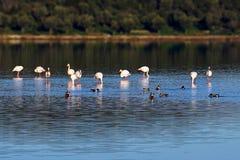 Flamingo's in het Meer Tuzla milas-Turkije royalty-vrije stock afbeelding