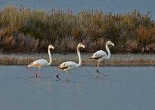 Flamingo's in het moeras Stock Afbeelding