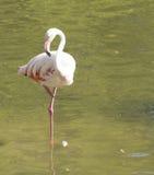 Flamingo's het rusten Royalty-vrije Stock Foto's