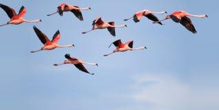 Flamingo's het vliegen. Stock Foto's