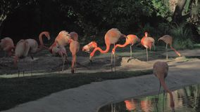 Flamingo's in hun habitat stock footage
