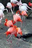 Flamingo's im dierentuin Stock Afbeelding