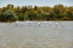 Flamingo's in La Camargue worden bevlekt die Stock Fotografie