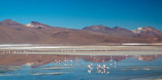 Flamingo's in Laguna Colorada Stock Afbeeldingen
