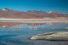 Flamingo's in Laguna Colorada Royalty-vrije Stock Foto