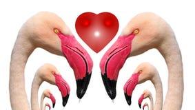 Flamingo's in liefde Royalty-vrije Stock Foto's
