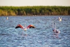Flamingo's op Camargue Stock Afbeelding