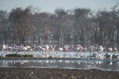 Flamingo's op het meer Stock Afbeelding
