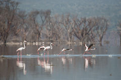 Flamingo's op het meer Stock Afbeeldingen