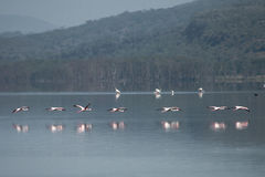 Flamingo's op het meer Stock Foto