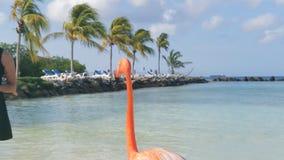 Flamingo's op het strand Het eiland van Aruba stock video