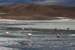 Flamingo's op Laguna Hedionda Stock Afbeeldingen