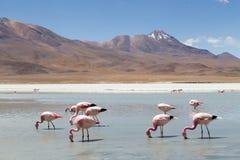 Flamingo's op Laguna Hedionda Stock Fotografie