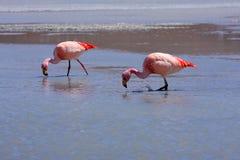 Flamingo's op meer, Bolivië Royalty-vrije Stock Foto's