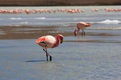 Flamingo's op meer, Bolivië Stock Fotografie