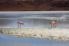 Flamingo's op meer, Bolivië Stock Foto's