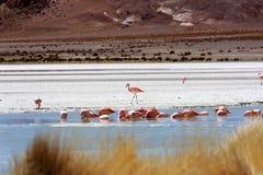 Flamingo's op meer, Bolivië Stock Afbeeldingen