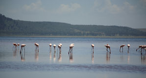 Flamingo's op Meer Nakuru Royalty-vrije Stock Fotografie