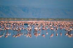 Flamingo's op meer Natron Stock Fotografie