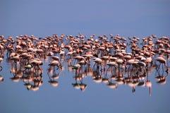 Flamingo's op meer Natron Stock Afbeeldingen