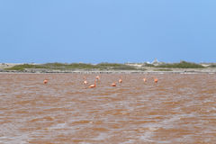 Flamingo`s in pink salty lake, Bonaire Stock Images