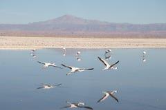 Flamingo's in San Pedro DE Atacama Stock Afbeeldingen
