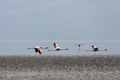 Flamingo's tijdens de vlucht Royalty-vrije Stock Foto's