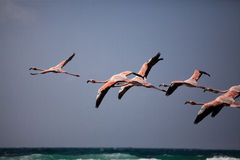 Flamingo's tijdens de vlucht Stock Fotografie