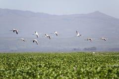 Flamingo's tijdens de vlucht bij Meer Naivasha, Groot Rift Valley, Kenia, Afrika Stock Foto's