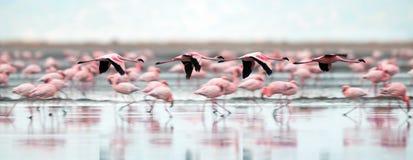 Flamingo's tijdens de vlucht Vliegende flamingo's over het water van Natron-Meer stock afbeeldingen