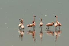 Flamingo's van meer Nakuru stock foto's