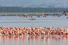 Flamingo's van Nakuru kenia Stock Afbeelding