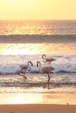 Flamingo's in zonlicht Royalty-vrije Stock Foto's
