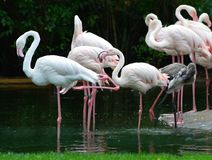 Flamingo`s at the zoo Royalty Free Stock Images