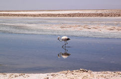 Flamingo in Salar de Atacama, Chile Stock Photography