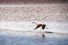 Flamingo in the Salt flat of Atacama (Chile) Royalty Free Stock Image