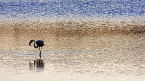 Flamingo in the salt marshes of  San Pietro`s  island  - Italy Royalty Free Stock Photo