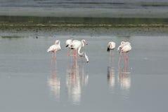 Flamingo'sbezinning en water Stock Fotografie