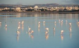 Flamingo-schöne wilde Vögel am Larnaka-Salzsee Zypern Lizenzfreies Stockbild