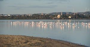 Flamingo-schöne wilde Vögel am Larnaka-Salzsee Zypern Lizenzfreie Stockfotos
