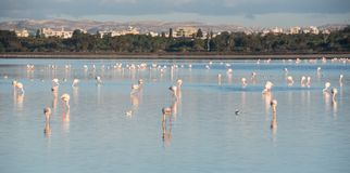 Flamingo-schöne wilde Vögel am Larnaka-Salzsee Zypern Stockfotos