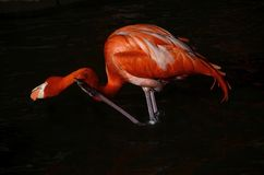 Flamingo scratching itself Royalty Free Stock Photos