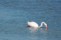 Flamingo sitting in the water Stock Photography