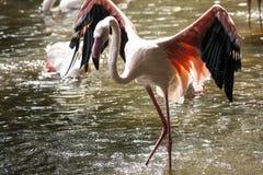 Flamingo/flamingo sjö Arkivfoto