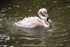 Flamingo/flamingo sjö Royaltyfri Bild